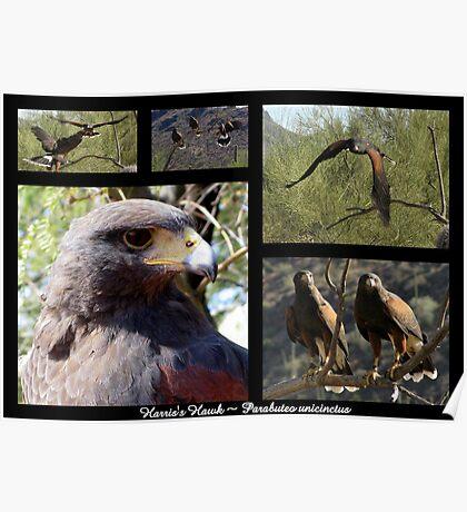 Harris's Hawk ~ Raptor Series Poster