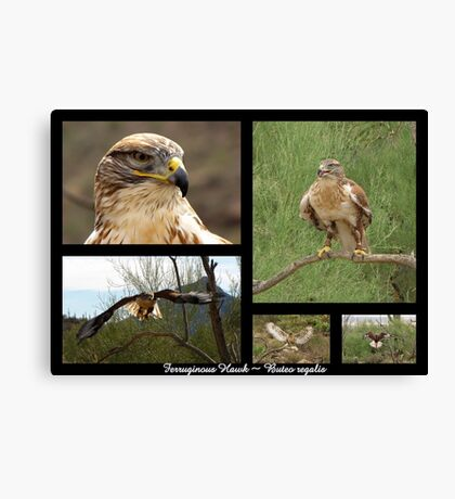 Ferruginous Hawk ~ Raptor Series Canvas Print