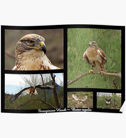 Ferruginous Hawk ~ Raptor Series Poster