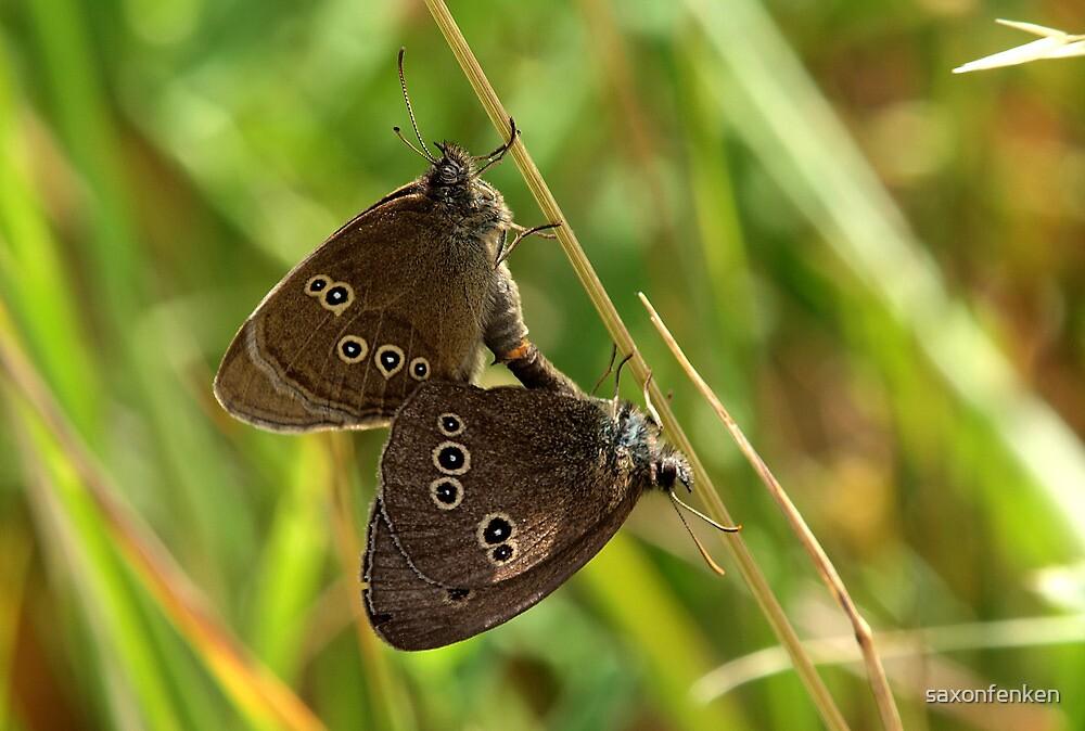 Mating Ringlets (Aphantopus hyperantus) by saxonfenken