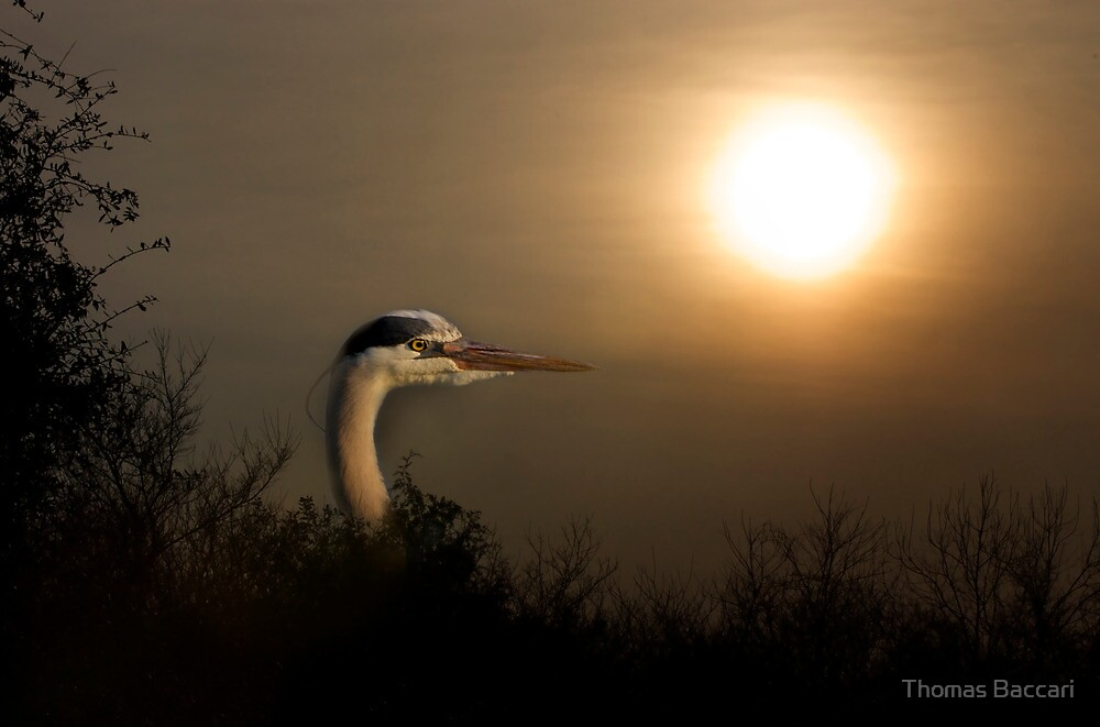 Blue Heron at Sunrise by TJ Baccari Photography