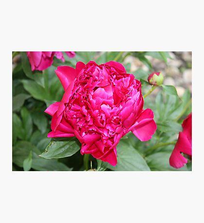 Vibrant Fuchsia Peony Photographic Print