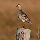 Upland Sandpiper by Larry Trupp