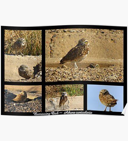 Burrowing Owl ~ Raptor Series Poster