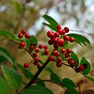 Wild Red Berries by AlexKokas