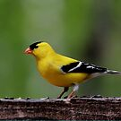 American Goldfinch (Male) by Larry Trupp