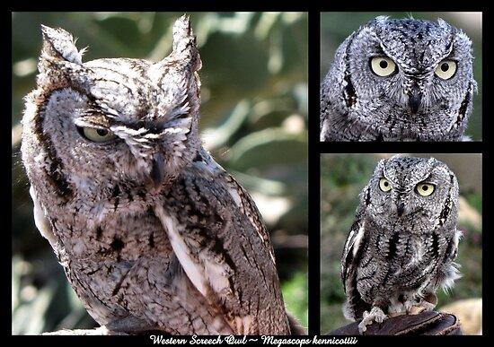 Western Screech Owl ~ Raptor Series by Kimberly Chadwick