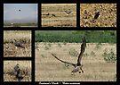 Swainson's Hawk ~ Raptor Series by Kimberly Chadwick
