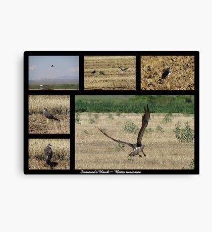 Swainson's Hawk ~ Raptor Series Canvas Print