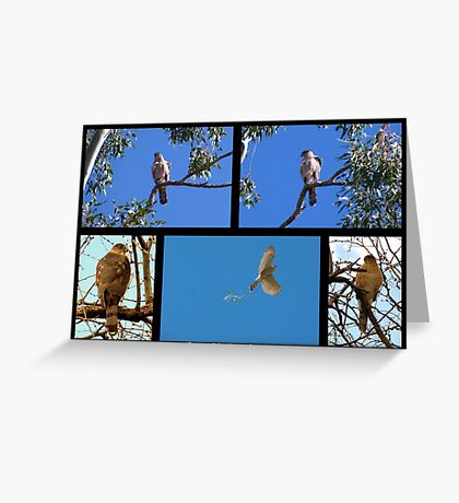 Coopers Hawk ~ Raptor Series Greeting Card
