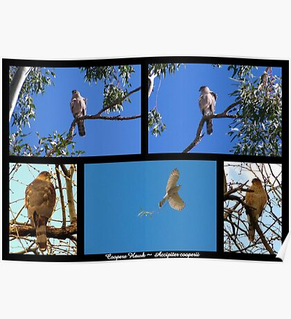 Coopers Hawk ~ Raptor Series Poster