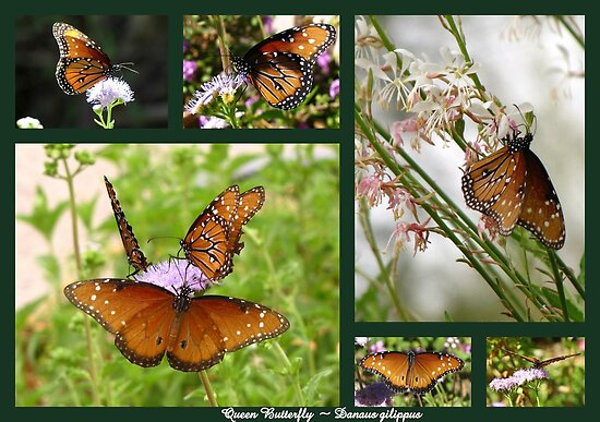 Queen Butterflies by Kimberly Chadwick