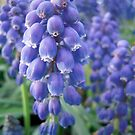 Blue Bells by hinting