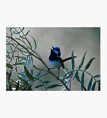 Superb Fairy Wren Photographic Print