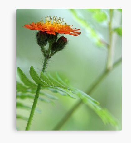 Orange Hawkweed and Wood Fern Canvas Print