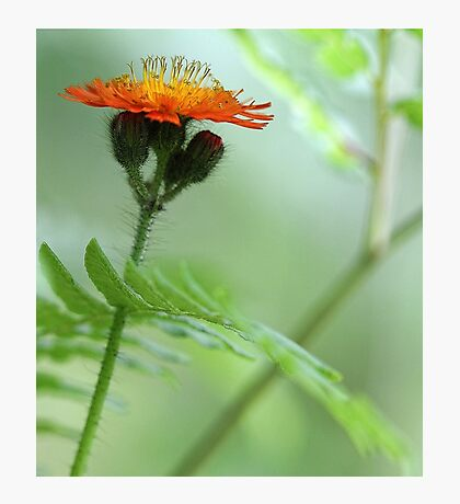 Orange Hawkweed and Wood Fern Photographic Print