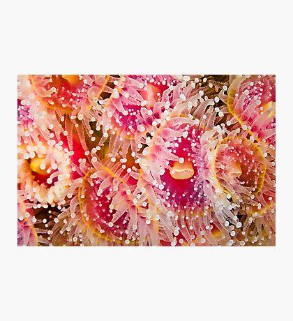 Jewel Anemonies Photographic Print