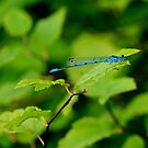 Blue dragonfly by Bluesrose