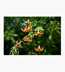 Canada Lilies Photographic Print