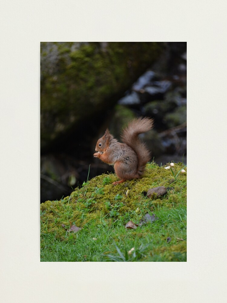 Alternate view of Red Squirrel Photographic Print