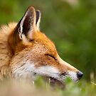 Day Dream Fox by Peter Denness