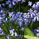 Cluster of Bluebells by shane22