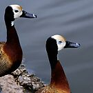 A pair of Whistling Ducks by David Carton