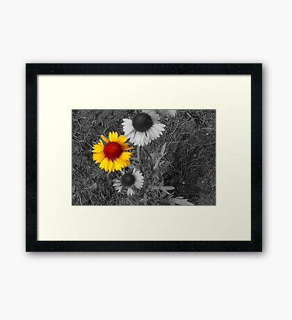 Brown Eyed Susans,selective color Framed Print
