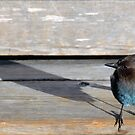 Blue Bird & Shadow by Tom Deters