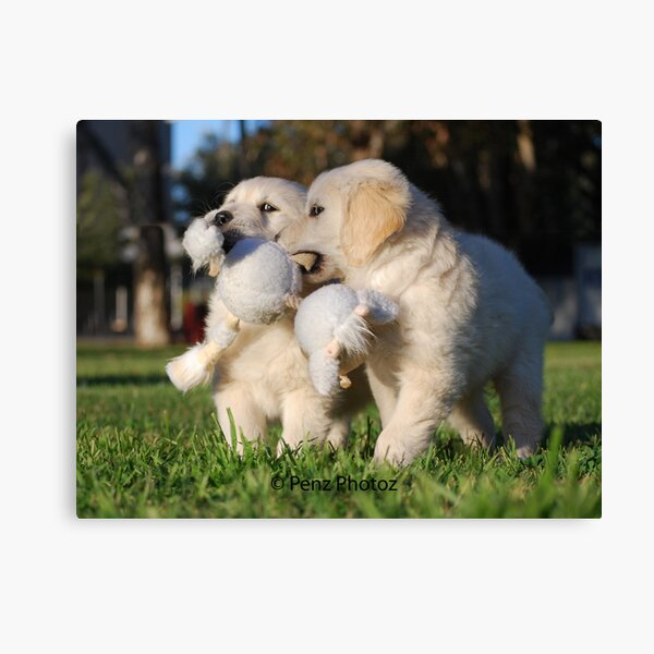 Baby Golden Retrievers at Play Canvas Print