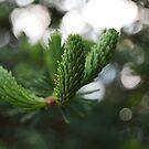 pine bokeh by MIbitoflife