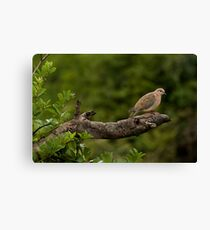 Laughing dove Canvas Print