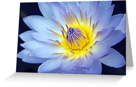 Feeling Blue - macro waterlilly by Jenny Dean