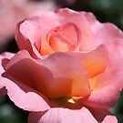Pink Delight by aussiedi