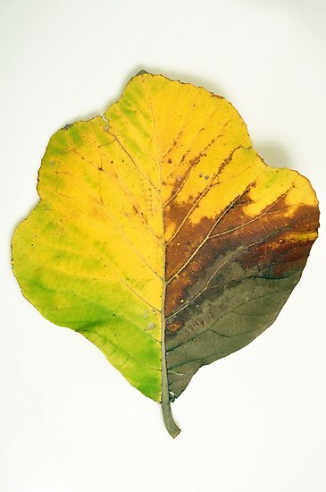 Leaf by AravindTeki