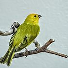 American Yellow Warbler by Len Bomba
