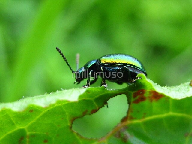 green beetle by millymuso