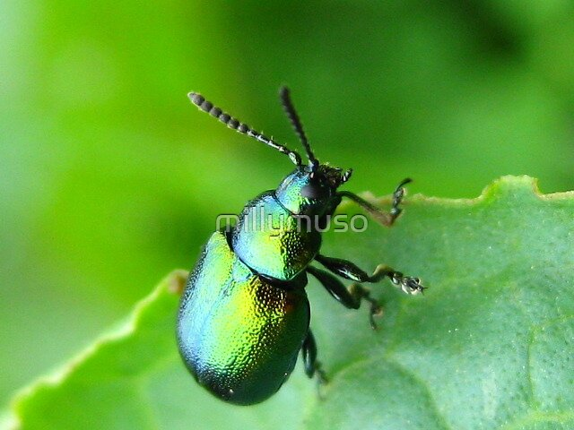 green beetle 2 by millymuso