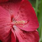 Gigantic red hibiscus in Wakarusa by agenttomcat