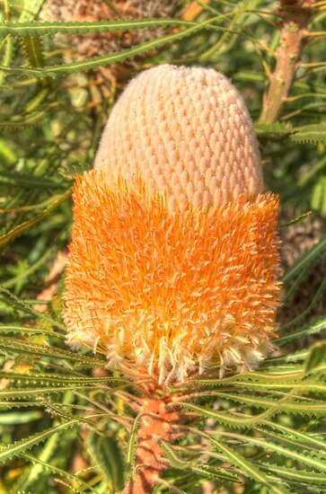 Banksia prionotes by Elaine Teague