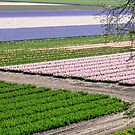 Hyacinth and Tulip Fields in The Netherlands - 2019 by Robert Kelch, M.D.