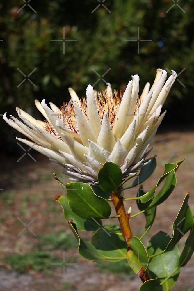 King Protea (White) Protea cynaroides #3 by Elaine Teague