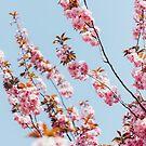 桜   Sakura von thomasrichter