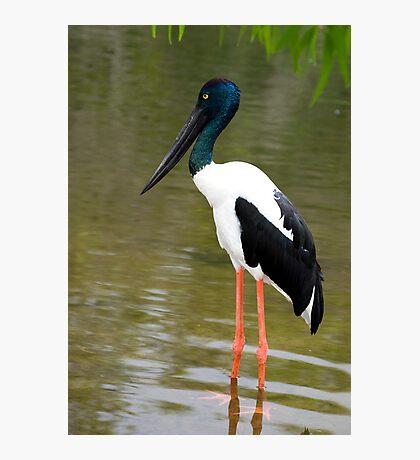 Jabiru - black necked stork Photographic Print