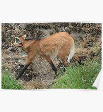 Maned Wolf - Wildlife Safari Poster