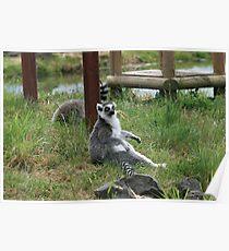 Lemurs - Wildlife Safari Poster