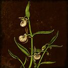 Botanica - Californian Slipper Orchid by Sybille Sterk