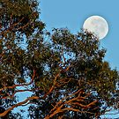 Reaching to the Moon - Adelaide Hills Wine Region - Fleurieu Peninsula by MagpieSprings