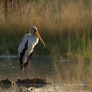 Yellow-billed stork in the sunset by Yves Roumazeilles