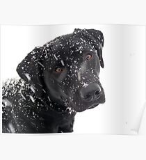 Black Lab Paying in the Snow Poster